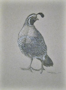 Quail Study in graphite on toned paper, 9 x 12 by Rita Alvarez , after photograph by Kim Cabrera